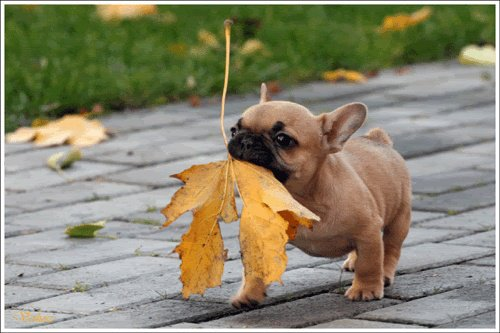 French bulldog with a leaf