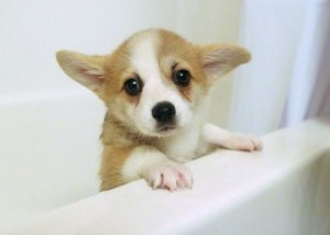 Required monthly corgi: the look of betrayal on her face!