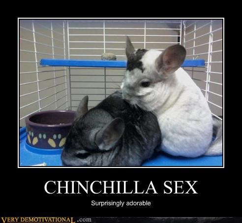 Here is a picture of naughty chinchillas to make it better.