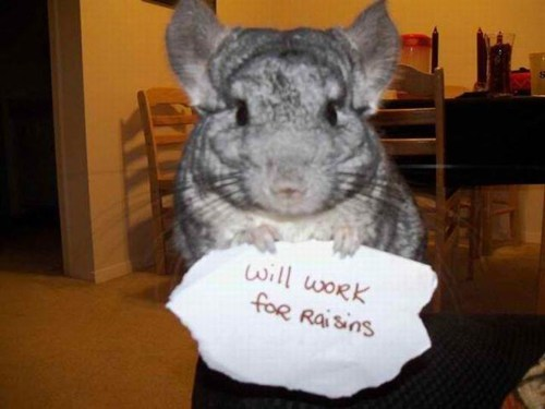 Chinchilla holding a sign